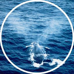 セミクジラの噴気
