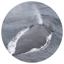 ザトウクジラの噴気