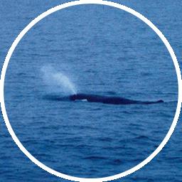 マッコウクジラの噴気