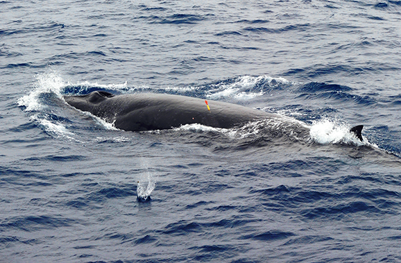 珍しいクジラ