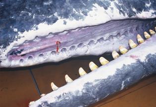 クジラの歯
