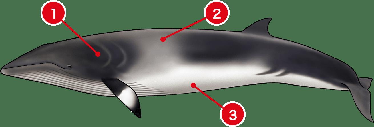 1頭のクジラの体からわかることは?