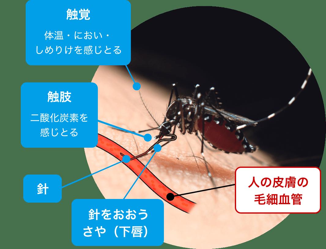蚊のからだ