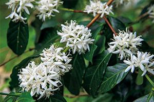 コーヒーノキの白い花