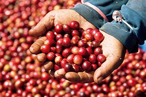 インドネシアのスラウェシ島での収穫