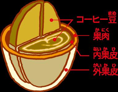 コーヒーチェリーの断面図