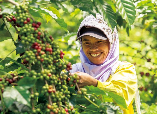 インドネシア・スラウェシ島での収穫