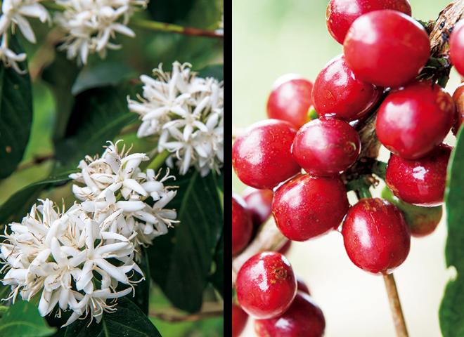 コーヒーノキの花と実