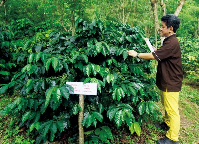 栽培試験中のコーヒーノキ