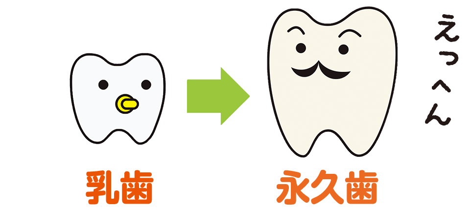子どもの歯とおとなの歯