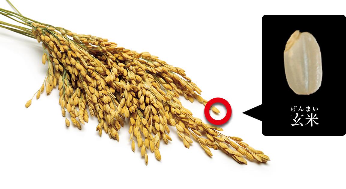 玄米とは籾殻を取った状態のお米のことだよ。