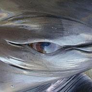 クジラの目